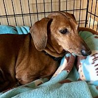 Available Pets At Little Paws Dachshund Rescue In Orangeburg