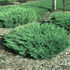 Andorra Juniper Naturehills Com Small Backyard Landscaping Landscape Design Backyard Landscaping
