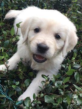 Golden Retriever Puppy For Sale In Lakeland Fl Adn 58344 On Puppyfinder Com Gender Female Age 6 Weeks Old Retriever Puppy Dogs Golden Retriever Puppies For Sale
