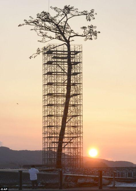 "Un ""pin miraculeux"" dans la région de Fukushima - Konbini"