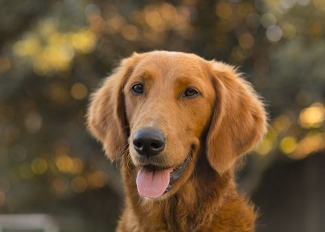Shula Is A Smooth Coated Groodle Or Goldendoodle Golden