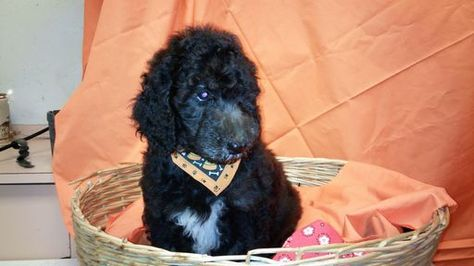 Litter Of 4 Poodle Standard Puppies For Sale In Hamilton Oh