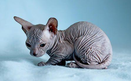 My Next Pet Someday The Sphynx Sphinx Cat Sphynx Cat