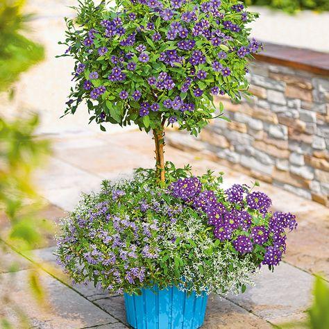 Unser Blühender Enzianstrauch Verschönert Euch Den Sommer Garten