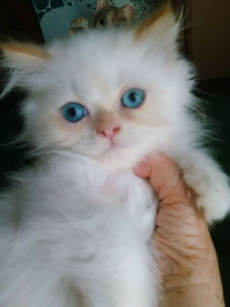 Colourpoint Persian Kitten Mosselbaai Gumtree Classifieds South Africa 423049977 Persian Kittens Cat Pics Cats And Kittens