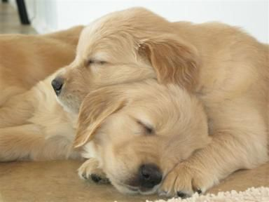 Texas Golden Retriever Breeder Puppies Available In Spring 2014