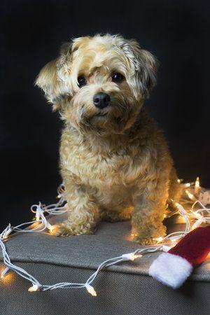 Christmas Havanese Melanie Mae Photography Dog Photography