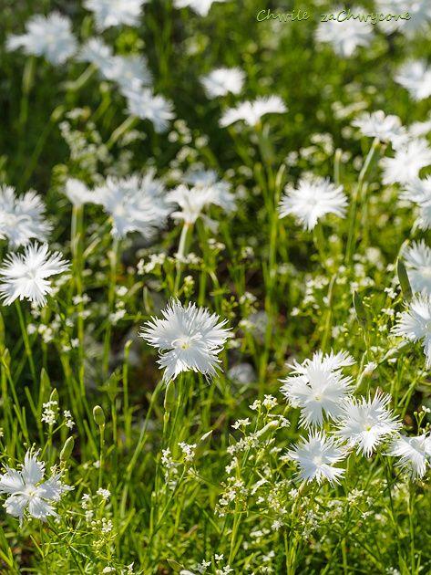 Chwile Zachwycone Gozdzik Ostrolistny Plants Flowers Dandelion
