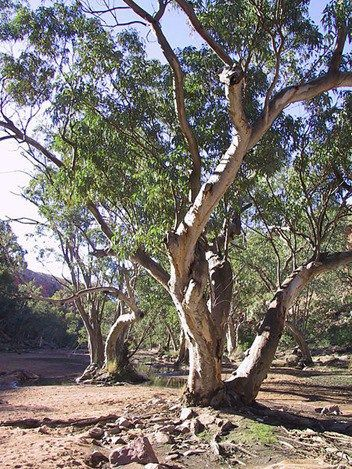 Gum Tree Uses And Meaning Thrive On News Spiritual Magazine Australian Trees Tree Australia Landscape
