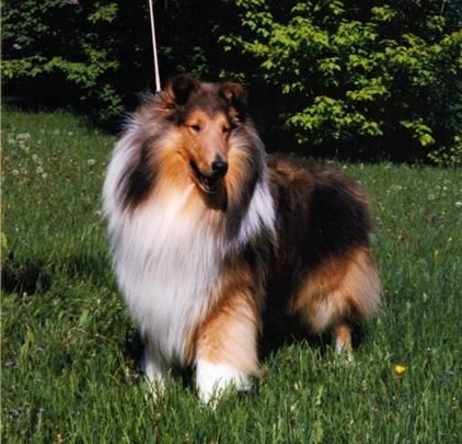 Register Of Merit Past Dogs Dogs Collie Dog Rough Collie