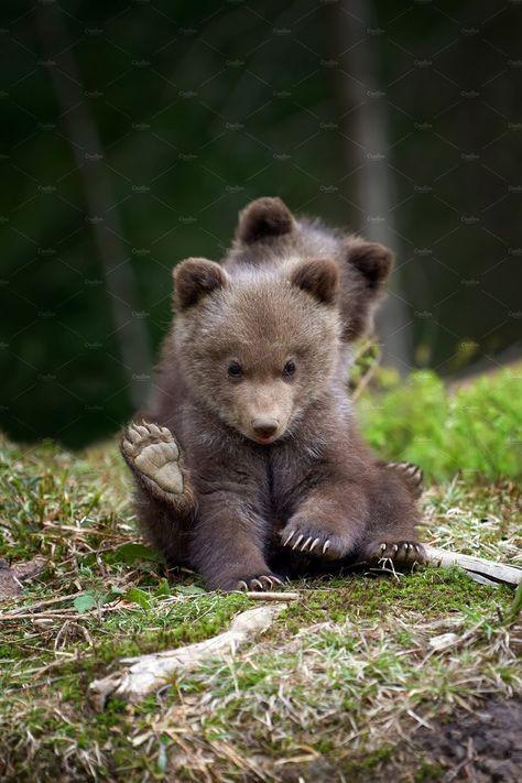 Ad: Wild brown bear cub closeup in summer forest  $10