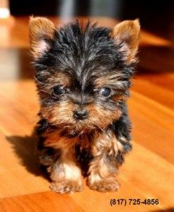 Little Tiny Yorkshire Terriers Lake Charles La Asnclassifieds