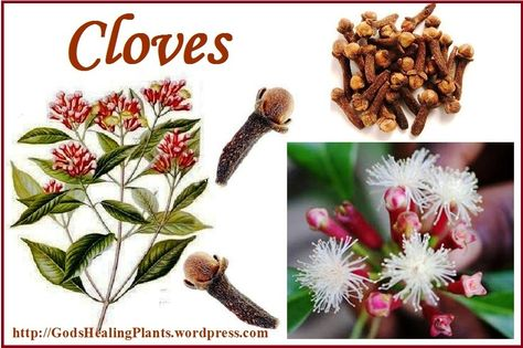 """Cloves are an ancient spice Chinese used over 2000 years to """"sweeten the breath"""". Historically used for digestive problems, headaches, and earaches. They are also a natural anesthetic (due to the eugenol oil) which is why they were often used for dental procedures in centuries past. http://yldist.com/a2z4health/"""