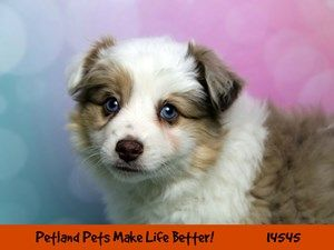 Dogs Puppies For Sale Petland Chicago Ridge Illinois Pet Store Puppies For Sale Puppies Dogs And Puppies