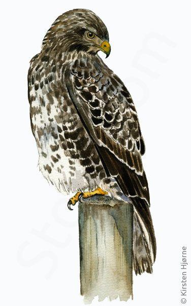 Musvage Buzzard Buteo Buteo Musvage Dyr Fugle