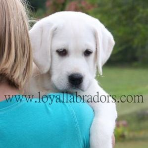 English Lab Puppy For Sale And Breeders In Minnesota White Lab Puppies White Labrador Puppy English Labrador Puppies