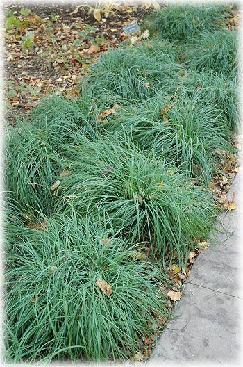 Carex \'Bronze Reflection\' | Outdoor Living Green | Pinterest