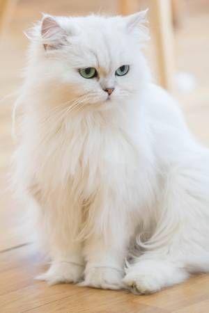 Stock Photo Persian Cat White Persian Cat Cat Photography