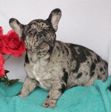 French Bulldog Puppy For Sale In Gap Pa Adn 65225 On Puppyfinder