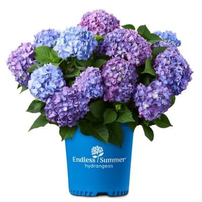 Endless Summer Endless Summer 1 Gal Bloomstruck Hydrangea Plant With Pink And Purple Flowers 12676 The Home Depot In 2020 Planting Hydrangeas Bloomstruck Hydrangea Summer Hydrangeas