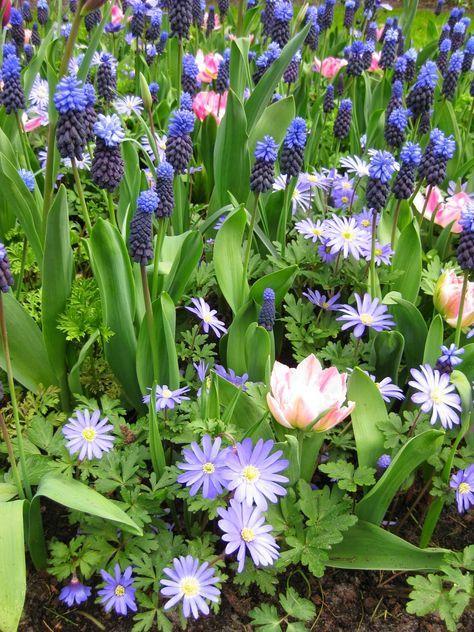 Anemone Blanda Muscari Latifolium Und Kurze Rosa Tulpen Eine Tolle Kombination Gesehen Im Keukenhof Anemone Botanical Gardens Flowers