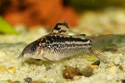 Elegant Corydoras Tropical Fish Aquarium Fish For Sale Catfish For Sale Tropical Fish Aquarium
