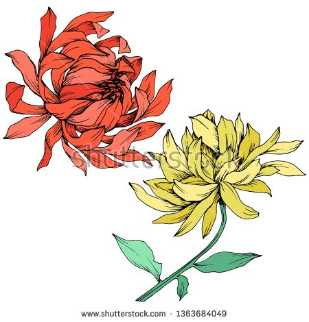 Stock Vector Vector Red And Yellow Chrysanthemum Floral Botanical Flowers Wild Spring Leaf Wildflower Flower Illustration Floral Botanical Botanical Flowers