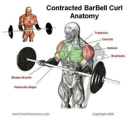 biceps barbell curls anatomy | Gilvan | Pinterest | Barbell curl ...