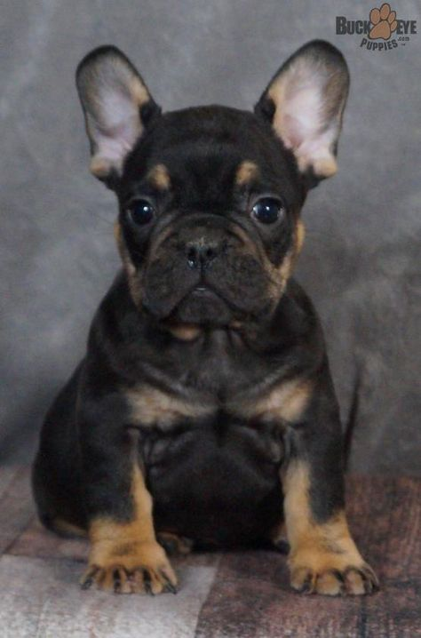 Frenchie Frenchbulldog Frenchbulldogpup Frenchbulldogpuppy Charming Puppiesofpinterest Pinterestpuppies Buckeyepup Bulldog Puppies Baby Animals Puppies