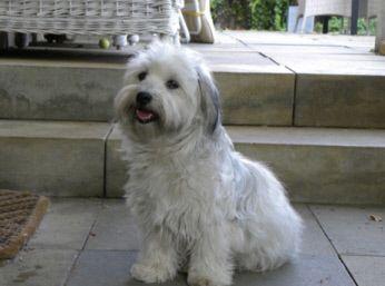 Pflege Der Havaneser Havaneser Havaneser Hund Havaneser Welpen