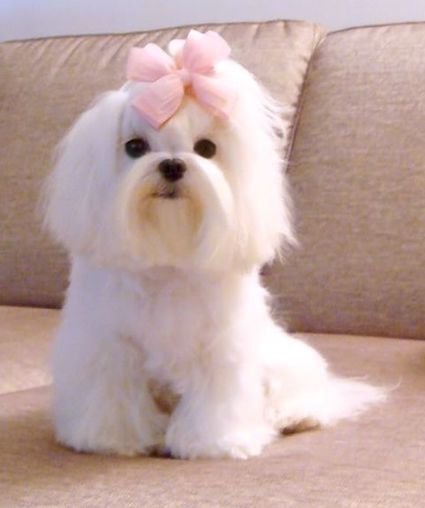 Maltese Hair Bow Maltesedoghaircuts Maltese Puppy Maltese Haircut Maltese Dogs Haircuts