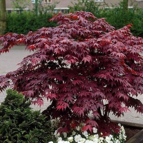 Japanese Red Maple Tree feet tall in trade gallon containers)