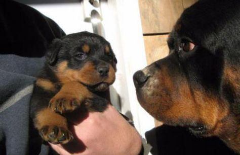 5 Weeks Old Purebred Rottweiler Puppies For Sale Purebred