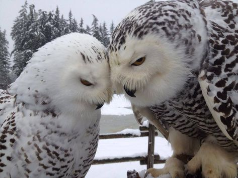 Image via An owl knows all the secrets of the forest, but tells them in a voice we cannot understand. Image via Baby Owl Pictures: Photos of Cute Animals, Young Owls Image via 60 Beautiful Owl, Animals Beautiful, Animals And Pets, Cute Animals, Owl Pictures, Owl Bird, Tier Fotos, Snowy Owl, Mundo Animal