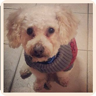 Fort Worth Tx Bichon Frise Poodle Toy Or Tea Cup Mix Meet
