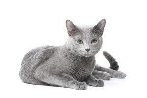 Russian Blue Cats New Zealand Blaue Katzen Katzen Katzenrassen