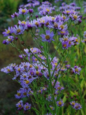 Aster Purple Aster Tataricus Potted Plant Organic Plants Organic Plants Chinese Plants