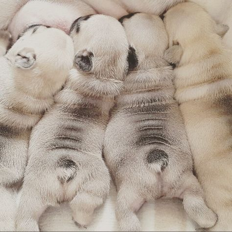Cute baby fawn French bulldog puppies with mom