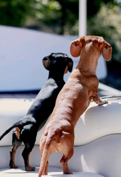 Standard Dachshund Vs Miniature Dachshund Weenie Dogs Dachshund