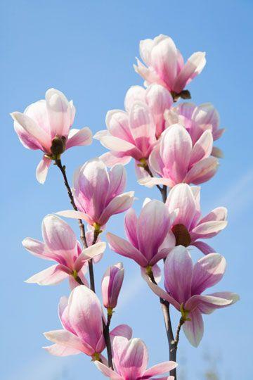 Good To Grow Magnolia 360 Magnolia Flower Flower Painting Beautiful Flowers