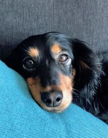 Adopt Ellie On Animal Rescue Dachshund Adoption Dachshund