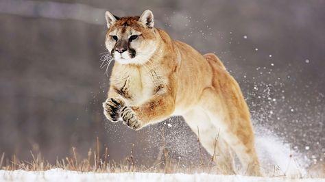 Il Puma, anche conosciuto come Coguaro, è un felino, la sua specie è la più vicina al nostro gatto domestico. Ha molti nomi come leone di montagna, pantera, puma coguaro oppure gatto di montagna. Il Puma era considerato sacro al popolo Azteco e Maya.