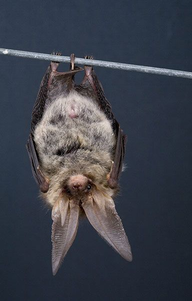 Brown long-eared bat. Equipped with ears almost the same length as its body, this widely distributed tree dweller, found in woodlands such as Northamptonshire's Fineshade Woods, doesn't have to pursue prey in flight; it picks off invertebrates from leaves and bark. Credit: Getty.#bat #long-earedbat #edgechronicles