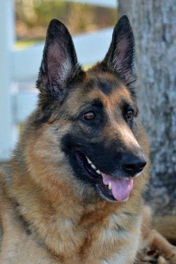 German Shepherd Dog Dog For Adoption In Coral Springs Fl Adn