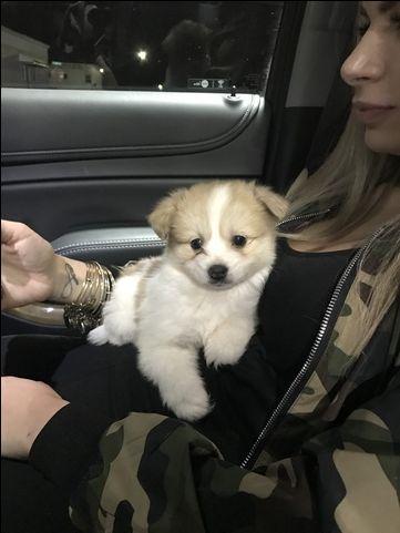 Pomeranian Poodle Toy Mix Puppy For Sale In Sterling Heights Mi Adn 29714 On Puppyfinder Com Gender Male Age Poodle Mix Puppies Puppies For Sale Puppies