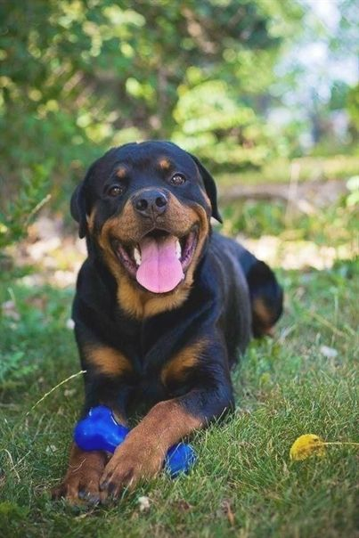 Canine Training Brings The Whole Family Together Rottweiler Dog