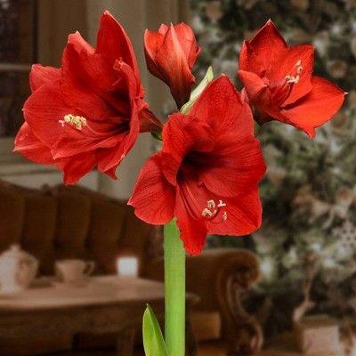 6pc Waxed Giant Amaryllis Collector S Edition National Plant Network Amaryllis Bulbs Silver Christmas Tree Pink Christmas Tree