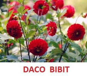 Terkeren 16 Gambar Bunga Dahlia Pompon Jual Tanaman Hias Bunga Dahlia Merah Kota Batu Dacochi Tokopedia Dahlia Bunga Terin Di 2020 Bunga Dahlia Dahlia Menanam Bunga