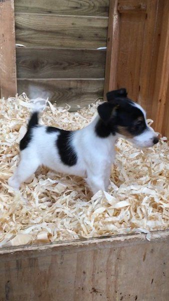 Beautiful Fox Terriers For Sale In Tipperary On Donedeal Dogs For Sale Fox Terrier Terrier