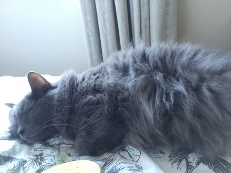 Default State Of The Nebelung Russian Blue Cat Nebelung Cat